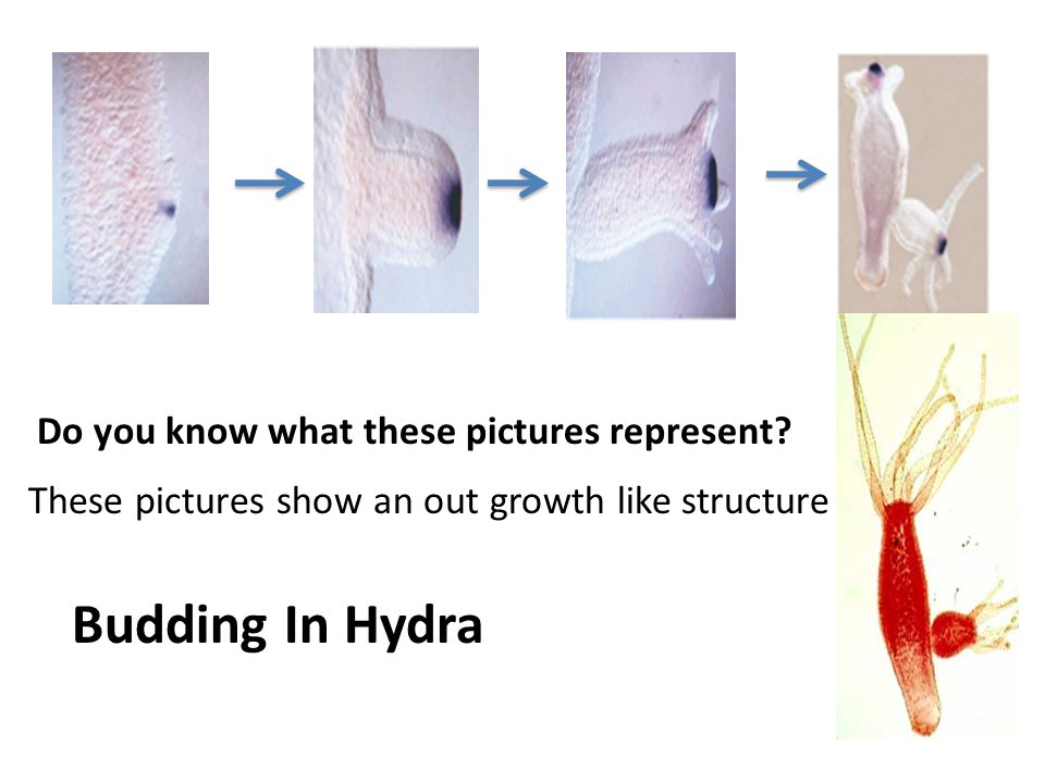 Budding In Hydra Do you know what these pictures represent