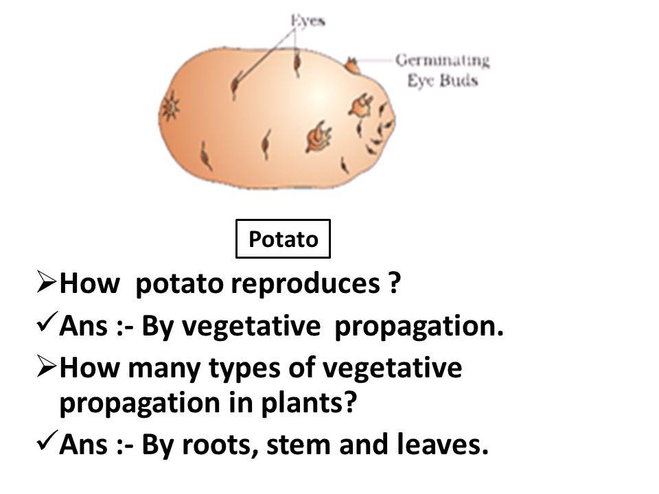 Ans :- By vegetative propagation.