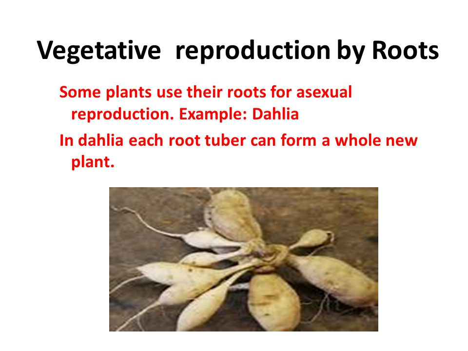 Vegetative reproduction by Roots