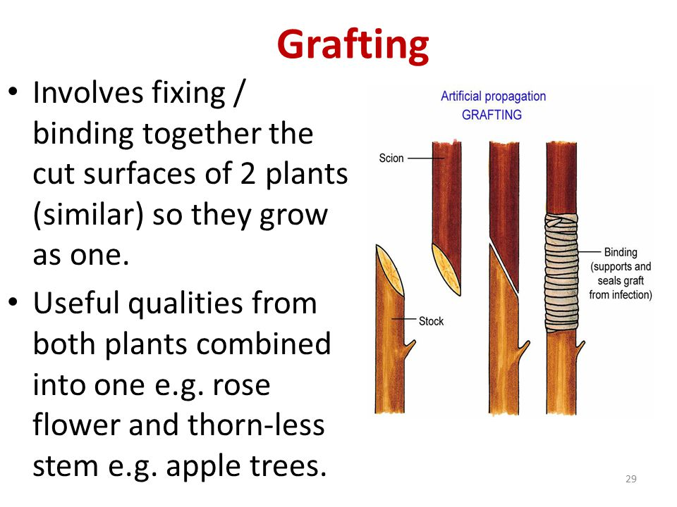 Grafting Involves fixing / binding together the cut surfaces of 2 plants (similar) so they grow as one.
