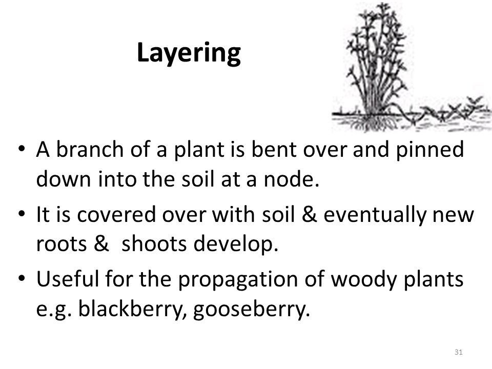 Layering A branch of a plant is bent over and pinned down into the soil at a node.