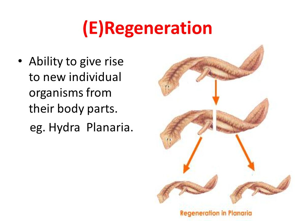 (E)Regeneration Ability to give rise to new individual organisms from their body parts.