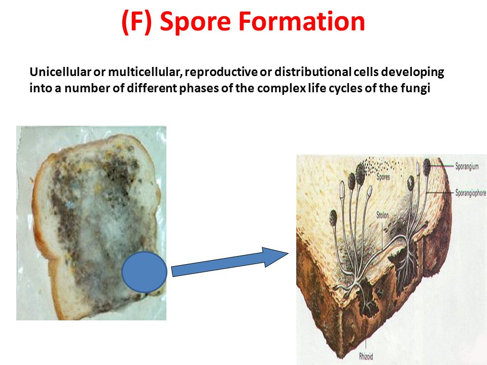 (F) Spore Formation
