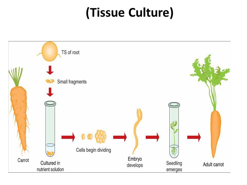 (Tissue Culture)
