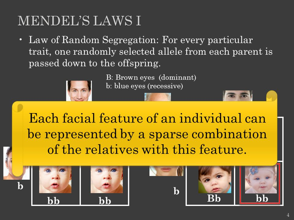 Mendel's Laws I Law of Random Segregation: For every particular trait, one randomly selected allele from each parent is passed down to the offspring.