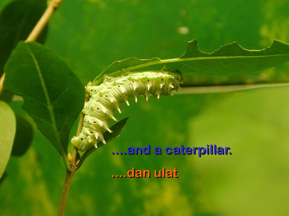 ....and a caterpillar. ....dan ulat