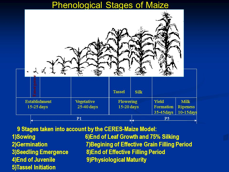 Phenological Stages of Maize