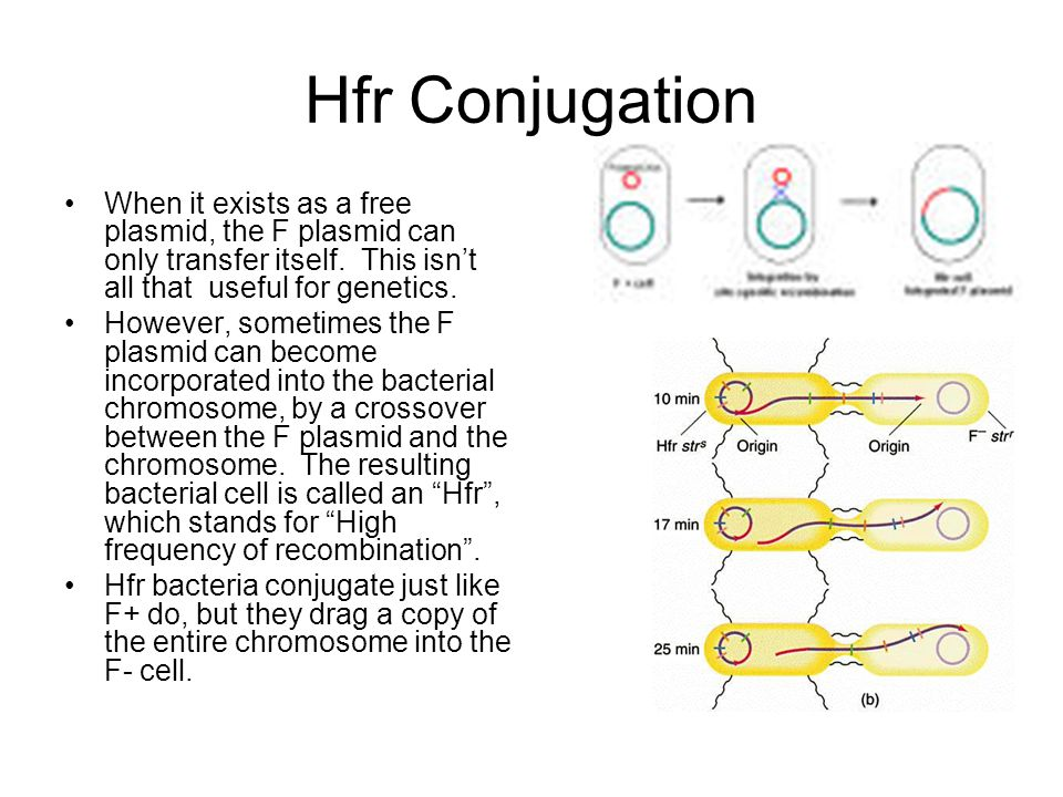 Hfr Conjugation When it exists as a free plasmid, the F plasmid can only transfer itself. This isn't all that useful for genetics.