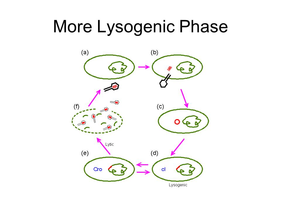 More Lysogenic Phase