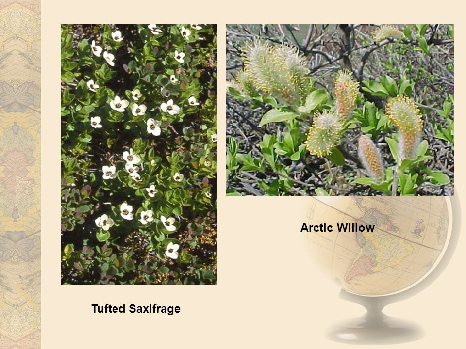 Arctic Willow Tufted Saxifrage