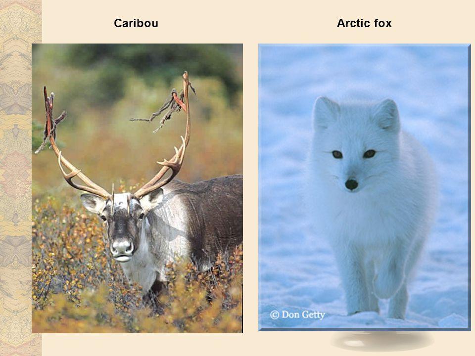 Caribou Arctic fox