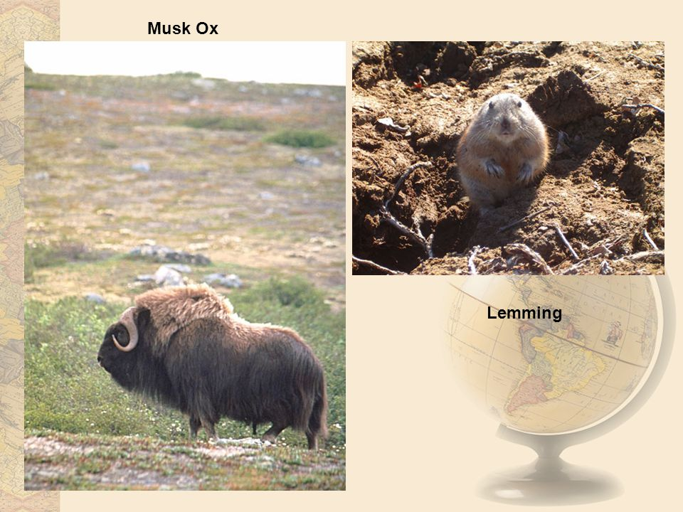 Musk Ox Lemming