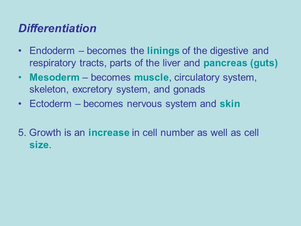 Differentiation Endoderm – becomes the linings of the digestive and respiratory tracts, parts of the liver and pancreas (guts)