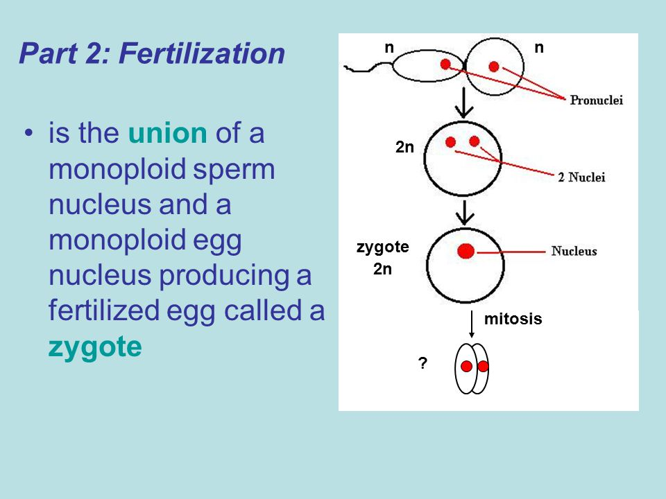 Part 2: Fertilization n. n. is the union of a monoploid sperm nucleus and a monoploid egg nucleus producing a fertilized egg called a zygote.