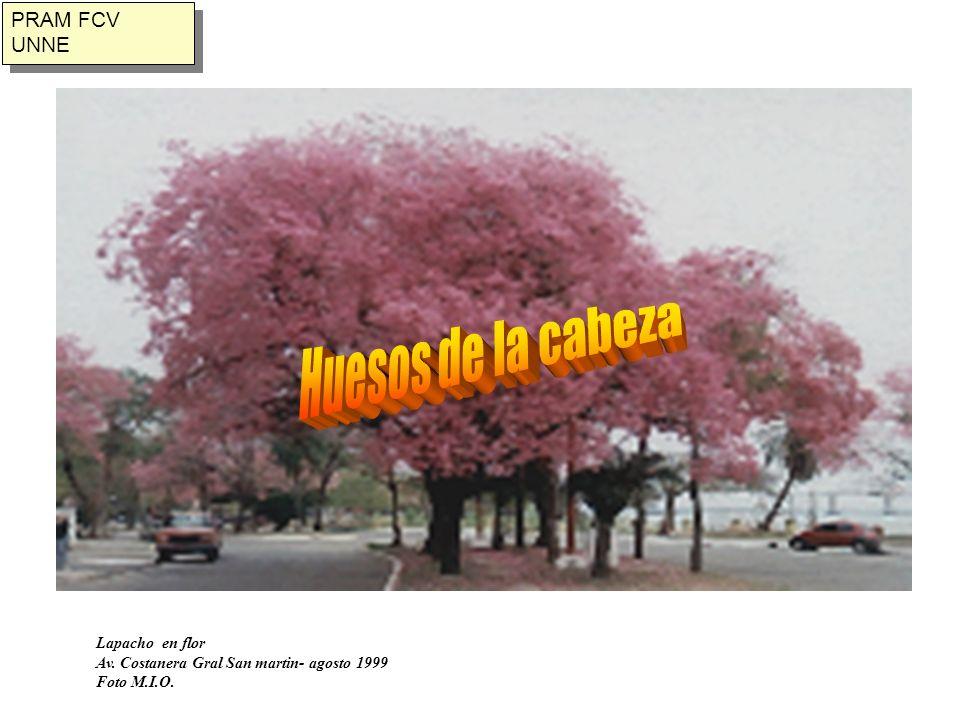 Huesos de la cabeza PRAM FCV UNNE Lapacho en flor