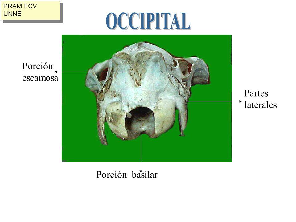 OCCIPITAL Porción escamosa Partes laterales Porción basilar