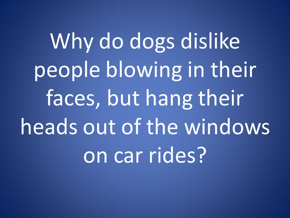 Why do dogs dislike people blowing in their faces, but hang their heads out of the windows on car rides