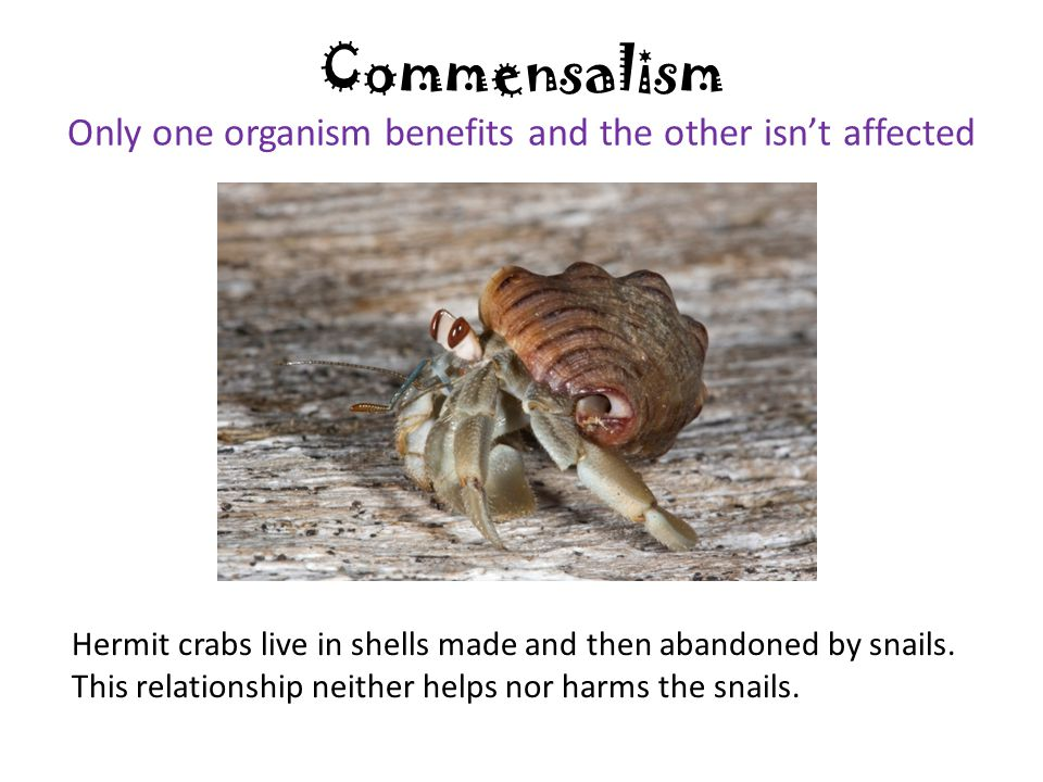 hermit crab and snail shell symbiotic relationship