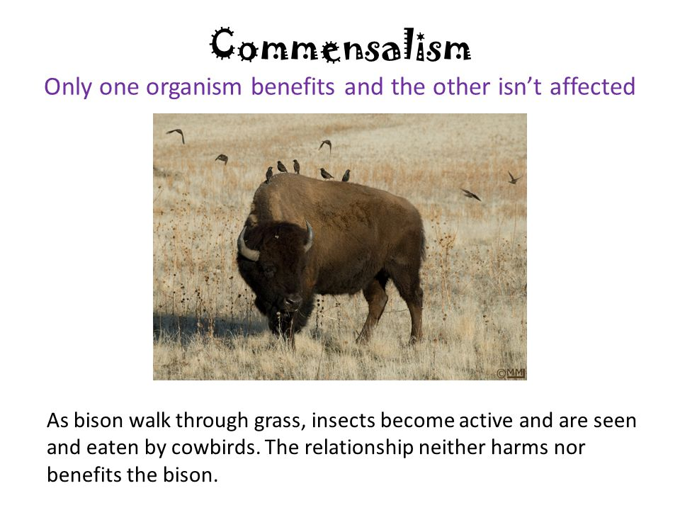 Commensalism Only one organism benefits and the other isn't affected