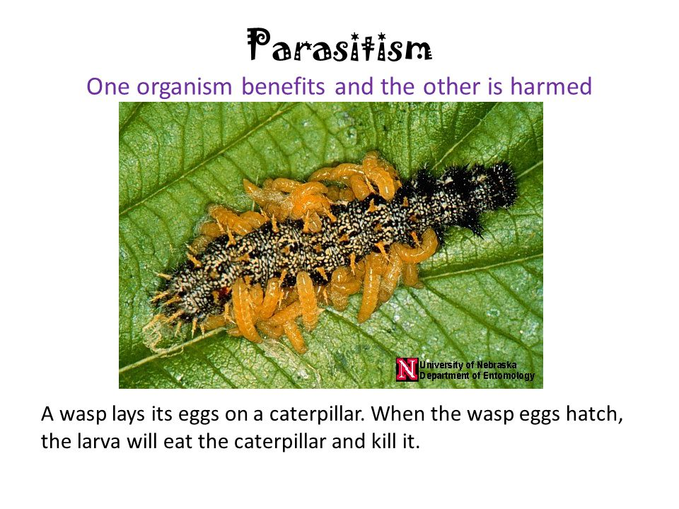 Parasitism One organism benefits and the other is harmed