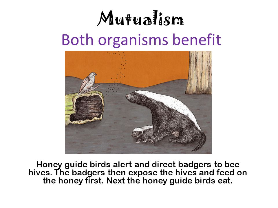 honey guide bird and badger symbiotic relationship