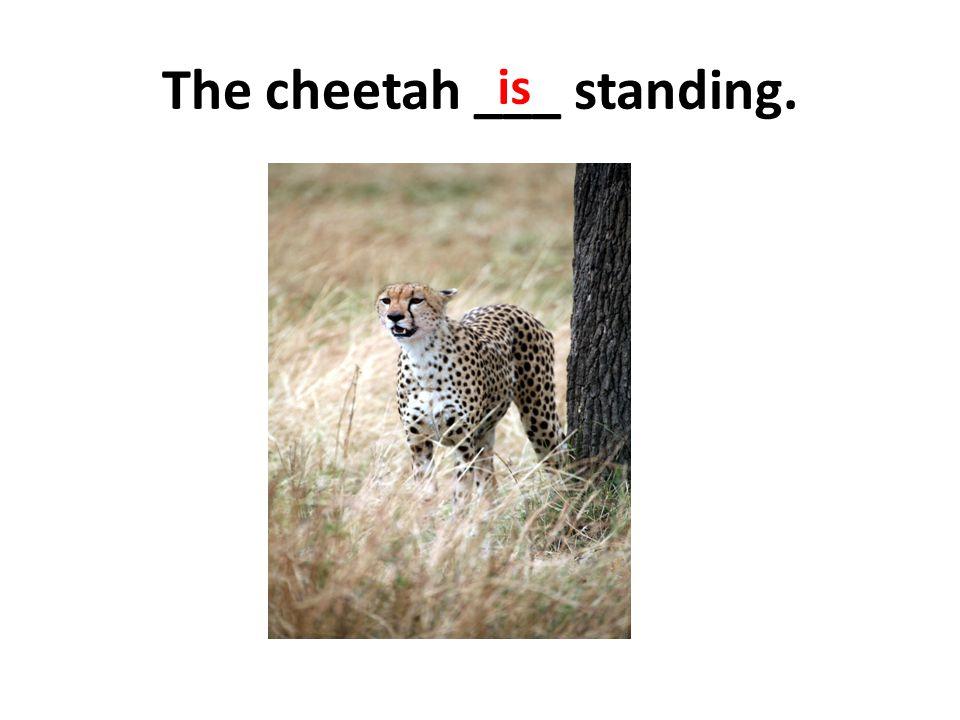 The cheetah ___ standing.