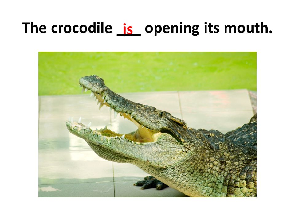 The crocodile ___ opening its mouth.