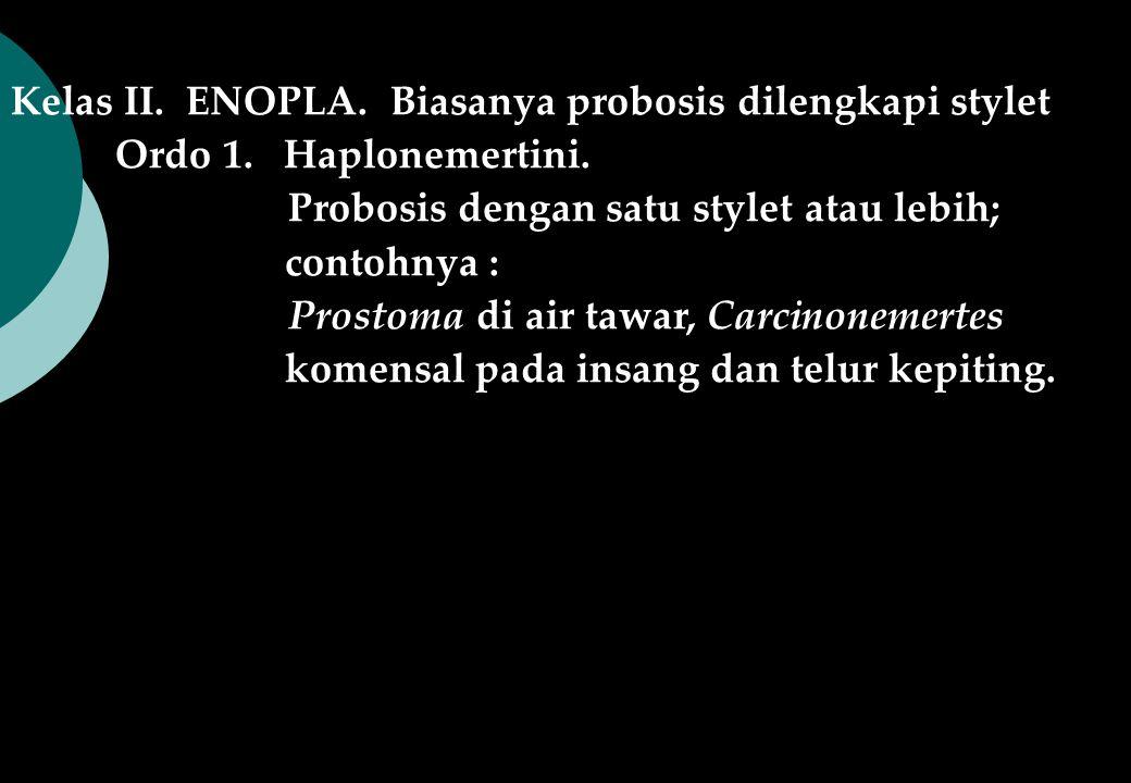 Kelas II. ENOPLA. Biasanya probosis dilengkapi stylet