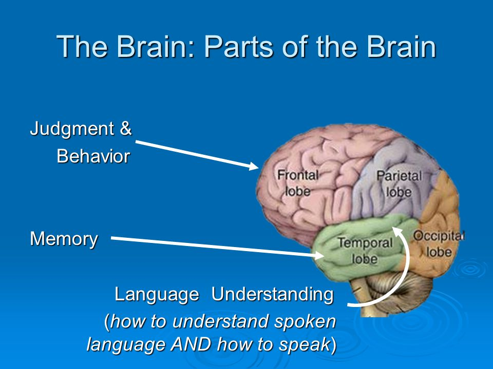 The Brain: Parts of the Brain