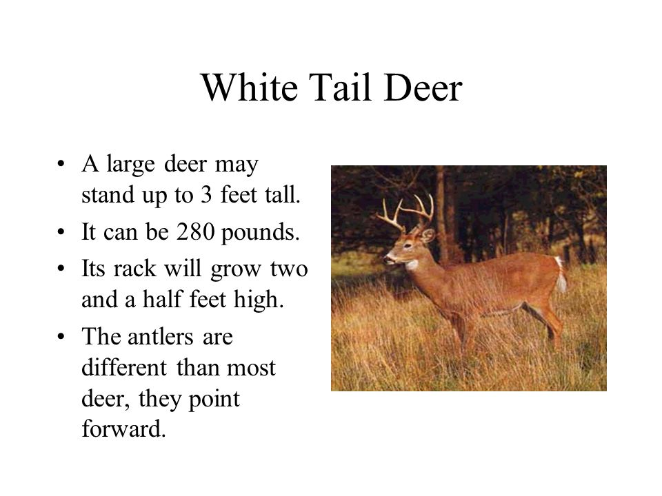 White Tail Deer A large deer may stand up to 3 feet tall.