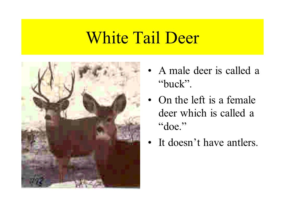 White Tail Deer A male deer is called a buck .