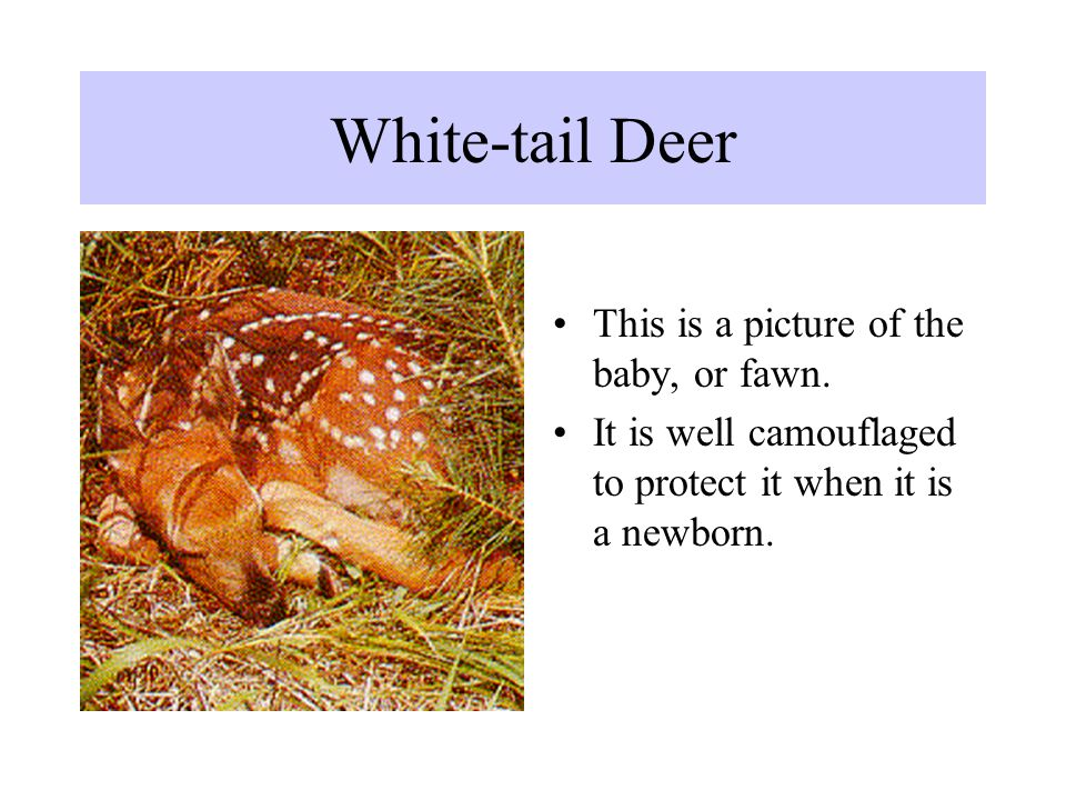 White-tail Deer This is a picture of the baby, or fawn.