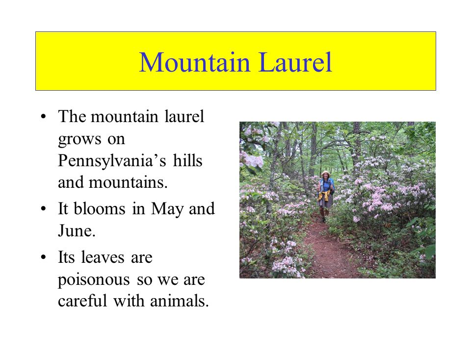 Mountain Laurel The mountain laurel grows on Pennsylvania's hills and mountains. It blooms in May and June.