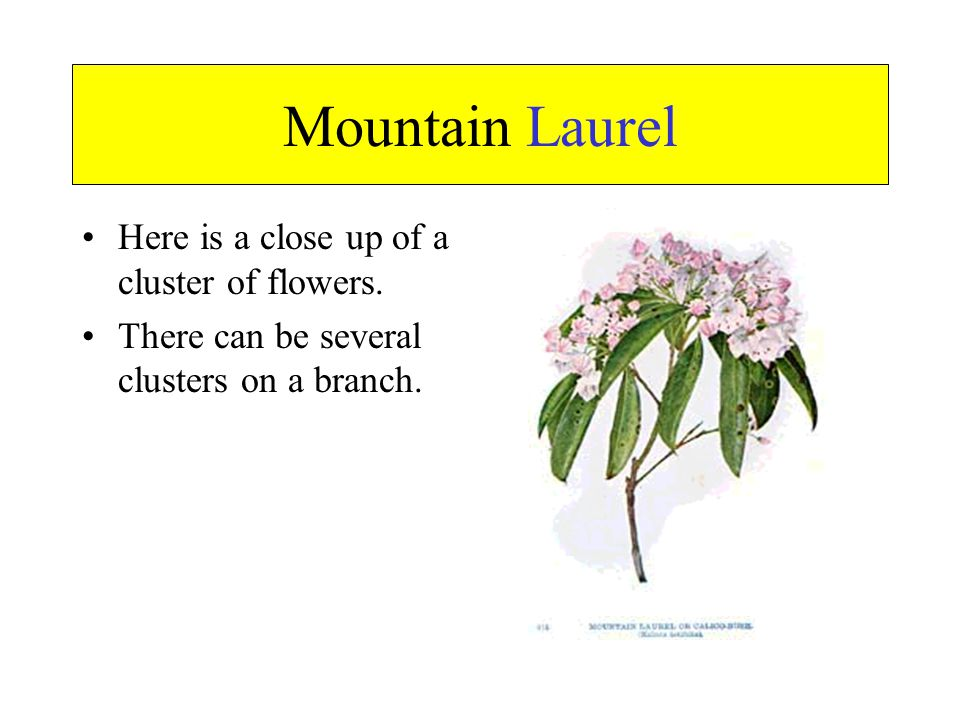 Mountain Laurel Here is a close up of a cluster of flowers.