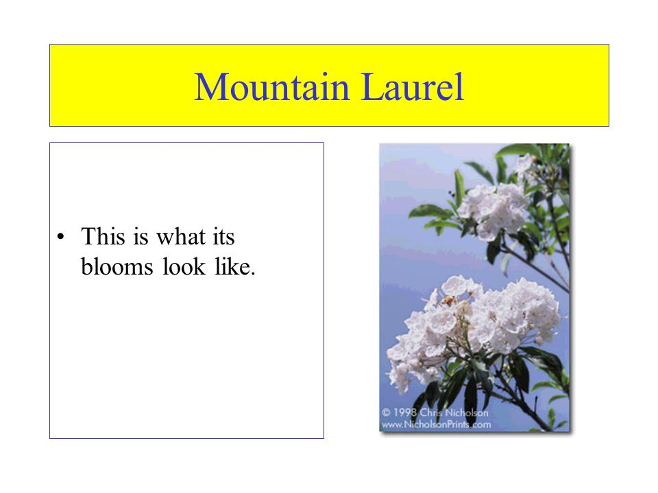 Mountain Laurel This is what its blooms look like.