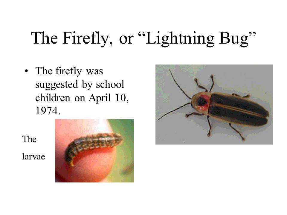 The Firefly, or Lightning Bug