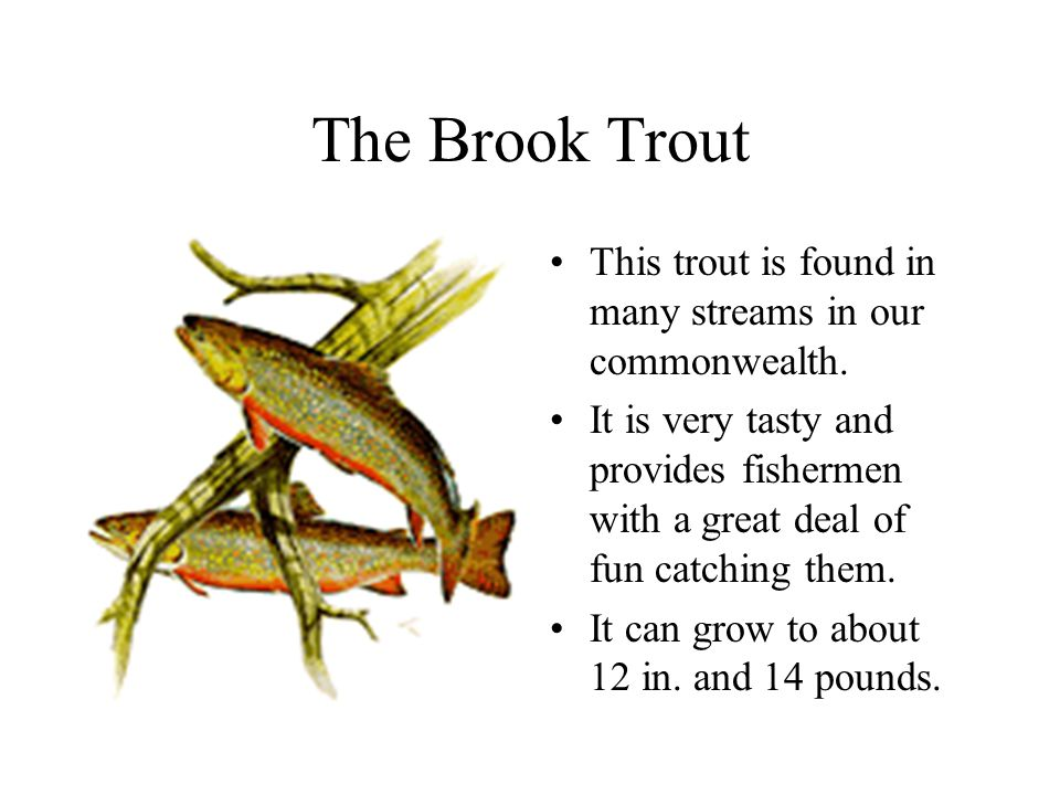 The Brook Trout This trout is found in many streams in our commonwealth.