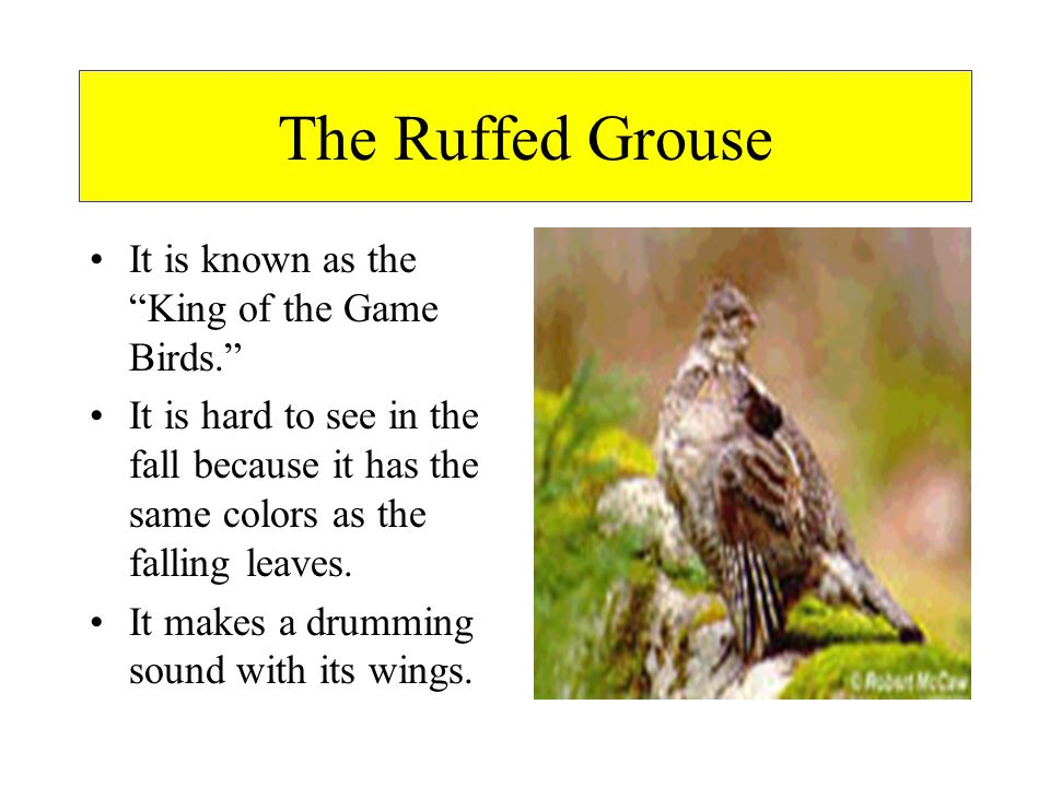 The Ruffed Grouse It is known as the King of the Game Birds.