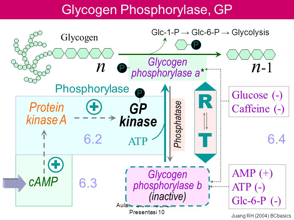 n n-1 R T + + GP kinase Glycogen Phosphorylase, GP Protein kinase A