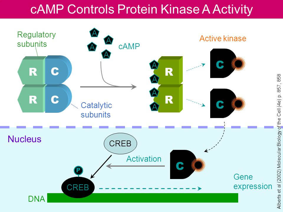 cAMP Controls Protein Kinase A Activity