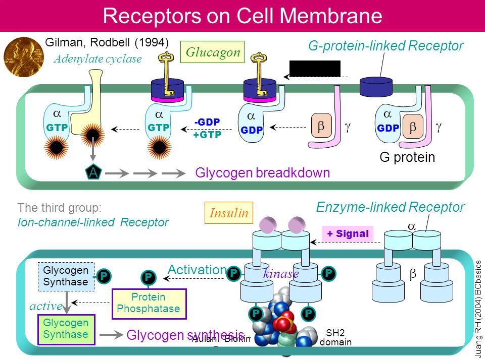 Receptors on Cell Membrane