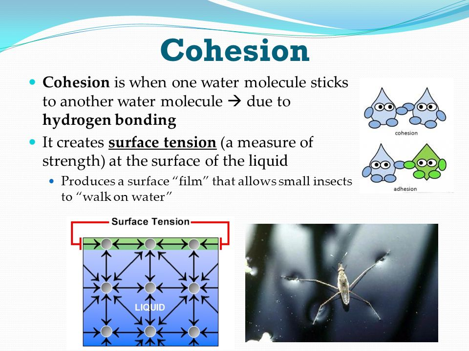 Cohesion Cohesion is when one water molecule sticks to another water molecule  due to hydrogen bonding.
