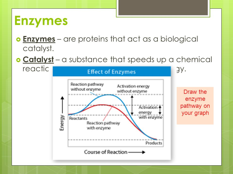 Draw the enzyme pathway on your graph