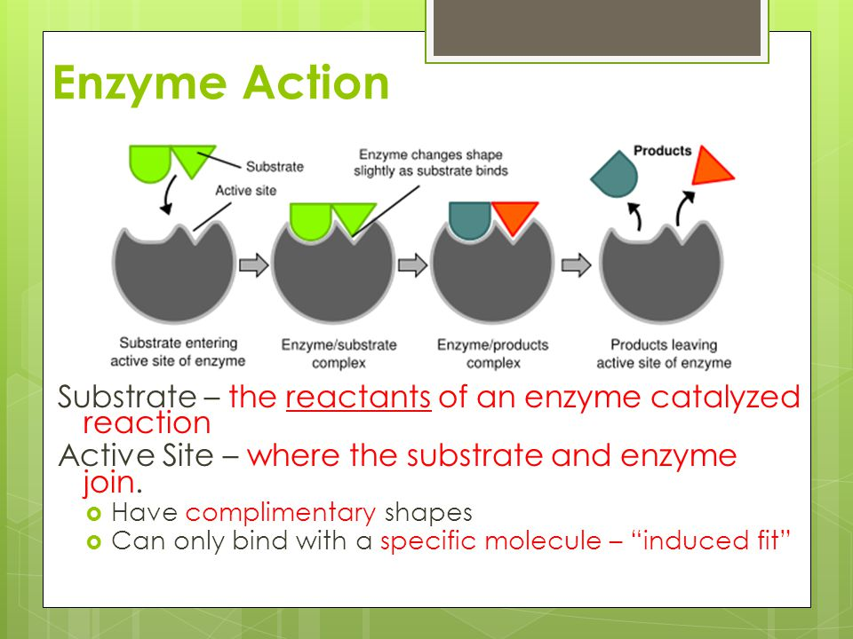 Enzyme Action Substrate – the reactants of an enzyme catalyzed reaction. Active Site – where the substrate and enzyme join.