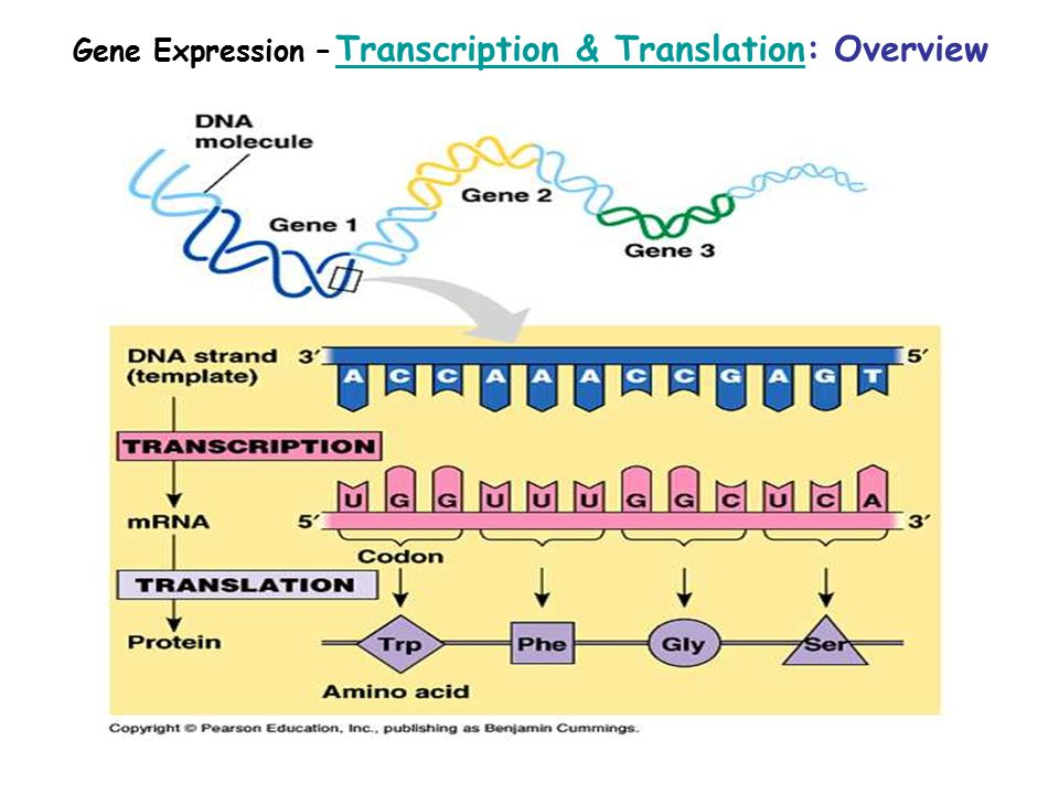 Gene Expression – Transcription & Translation: Overview