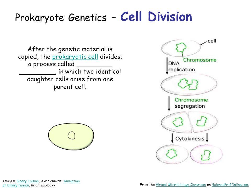 Prokaryote Genetics – Cell Division