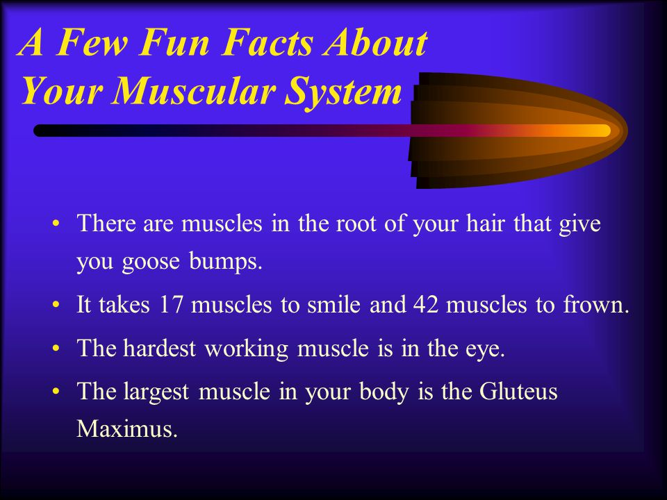 A Few Fun Facts About Your Muscular System