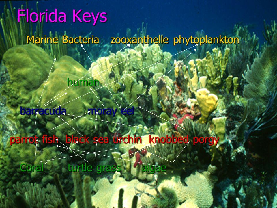 Florida Keys Marine Bacteria zooxanthelle phytoplankton human