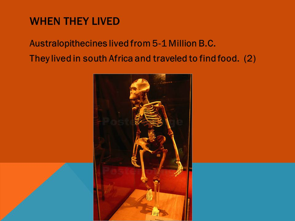 When they lived Australopithecines lived from 5-1 Million B.C.