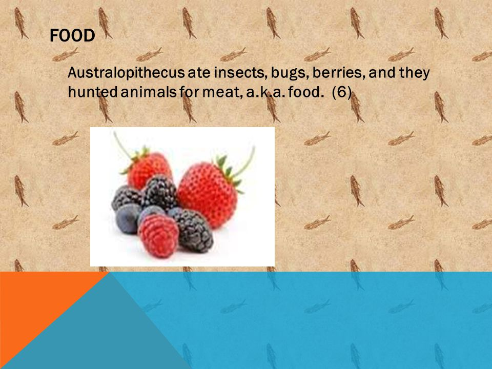 Food Australopithecus ate insects, bugs, berries, and they hunted animals for meat, a.k.a.